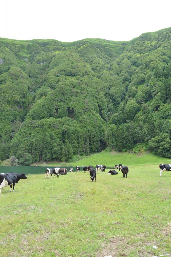 Cows on Sete Cidades Hike
