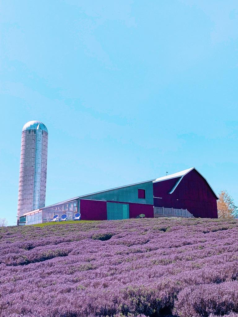lavender farm lavender festival Michigan